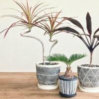 ドラセナ(幸福の木)の育て方|水やりの頻度や植え替えの方法は?の画像