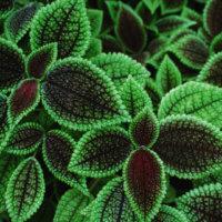 ピレアの花言葉|種類や品種、特徴は?の画像