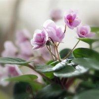 セントポーリアの花言葉|種類や品種、花の特徴は?の画像
