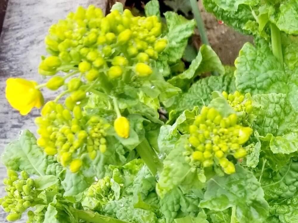 菜の花(ナバナ)の育て方|種まきの仕方は?肥料の頻度は?の画像