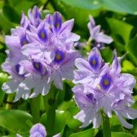 ホテイアオイの花言葉|花の特徴や効果、メダカとの相性は?の画像