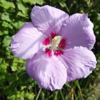 ムクゲの花言葉|種類や花の特徴、似ている花との見分け方は?の画像