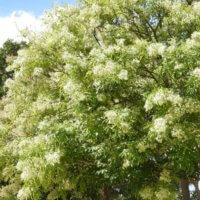 シマトネリコの花言葉|種類や花の特徴、剪定が大事?の画像