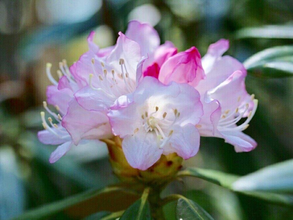 シャクナゲ(石楠花)の育て方|植え替えの時期は?芽かきが必要?の画像