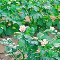 ジャガイモの花言葉|花の特徴や実の種類、毒があるの?の画像