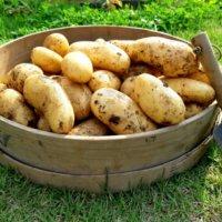 ジャガイモの育て方|植え付けのコツは?ベランダ栽培もできる?の画像