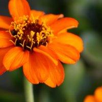 ヒャクニチソウ(ジニア)の花言葉|花の種類や品種、寄せ植えにおすすめ?の画像