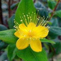 ヒペリカムの花言葉|花や実の特徴、種類は?の画像