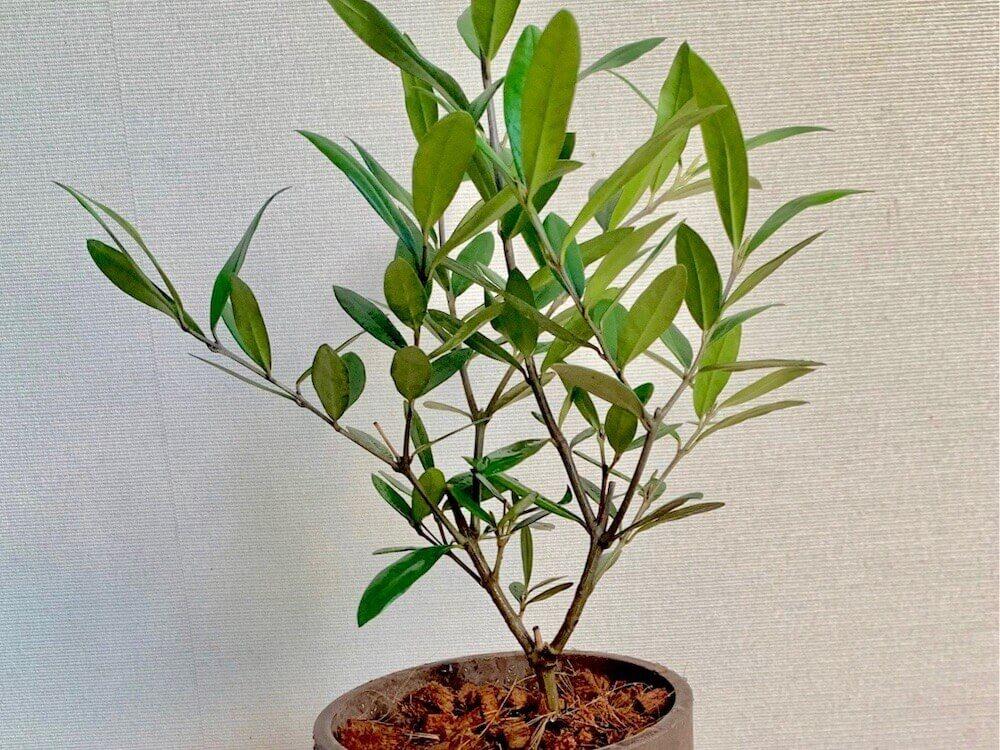 剪定 オリーブ の 木