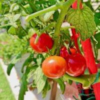 トマトは実りだすと虫がわく!?おいしく収穫するための防虫対策の画像
