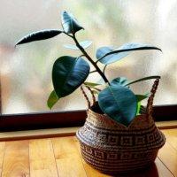 ゴムの木(フィカス)の花言葉|意味や由来、特徴は?風水効果はある?の画像