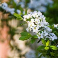 雪柳(ユキヤナギ)の花言葉|種類や花の特徴、剪定が大事?の画像