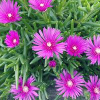 マツバボタンの花言葉|種類や品種、花の特徴は?の画像