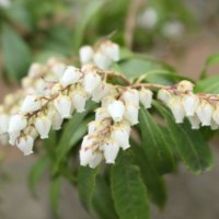 アセビ(馬酔木)の花言葉|花の特徴や種類、毒性があるの?の画像