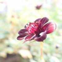 チョコレートコスモスの花言葉|他のコスモスと意味は違うの?種類などもご紹介の画像