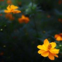 キバナコスモス花言葉|他のコスモスと意味は違うの?種類などもご紹介の画像