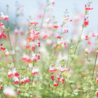 チェリーセージの花言葉|種類や品種、花の特徴は?の画像
