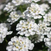 イベリスの花言葉|種類や花の特徴、楽しみ方は?の画像