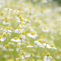 カモミール(カミツレ)の花言葉|英語や種類別の意味、由来とは?の画像