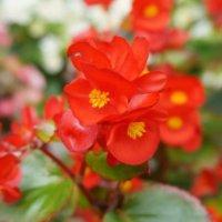ボケ(木瓜)の花言葉|どんな花を咲かせるの?特徴などもご紹介の画像