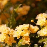 モッコウバラ(木香薔薇)の花言葉|種類や特徴などもご紹介の画像