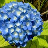 アジサイ(紫陽花)の剪定|花後が大事!目的によって方法も違う?の画像