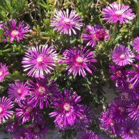 マツバギク(松葉菊)の花言葉|種類や品種、花の特徴は?の画像