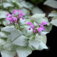 ラミウムの花言葉|種類や花の特徴、グランドカバーにおすすめ!の画像