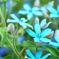 オキシペタラムの花言葉|種類や花の特徴、花束でのプレゼントがおすすめ?の画像