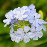 プルンバゴ(ルリマツリ)の花言葉|種類や品種、花の特徴は?の画像