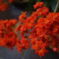 カランコエの花言葉|花の特徴や種類、品種は?の画像