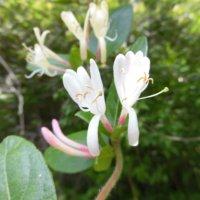 スイカズラ(忍冬)の花言葉|怖い意味はある?由来や種類、花や実の効能は?の画像