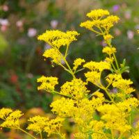 オミナエシ(女郎花)の花言葉|花の特徴や見頃の時期は?の画像