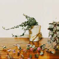 ハートカズラの花言葉|種類や花の特徴、飾り方は?の画像