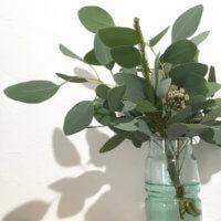 ユーカリの花言葉|葉や花の特徴、風水の効果は?の画像