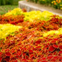 コリウスの花言葉|種類や品種、特徴は?の画像