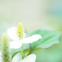 ドクダミの花言葉|種類や効能、花の特徴は?の画像