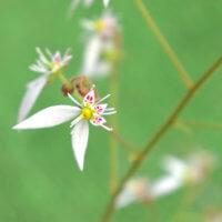 ユキノシタ(雪の下)の花言葉|効果、効能や花の特徴は?の画像