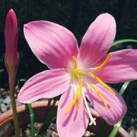 ゼフィランサスの花言葉|種類や品種、花の特徴は?の画像