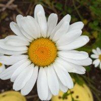 ノースポール育て方|水やりや用土、育てる場所は?の画像