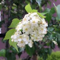 サンザシの花言葉|花の特徴や、実の効能は?の画像