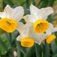 水仙(スイセン)の種類|白や黄色などの代表的な品種、花の特徴は?の画像