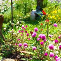 センニチコウ(千日紅)の花言葉|色別の意味はある?種類や花の特徴は?の画像