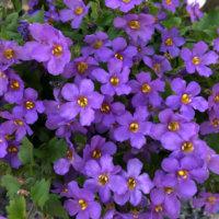 バコパの花言葉|種類や特徴、効果、効能は?の画像