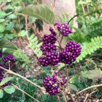 ムラサキシキブの花言葉|花や実の特徴、種類はある?の画像