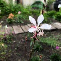 ガウラ(白蝶草)の花言葉|花の特徴や種類、品種は?の画像