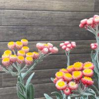 ヘリクリサムの花言葉|種類や花の特徴、精油の効能は?の画像