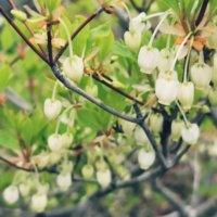 ドウダンツツジの花言葉|花の特徴や種類、剪定でのおすすめの楽しみ方の画像