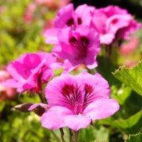 ペラルゴニウムの花言葉|種類や花の特徴、見頃はいつ?の画像