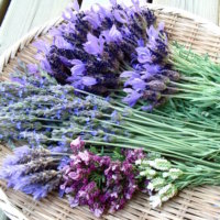 ラベンダーの種類・品種|花の特徴や香りの強さの違いは?の画像